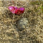 Threatened desert tortoise & balloon