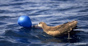 Black-footed Albatross with latex balloon