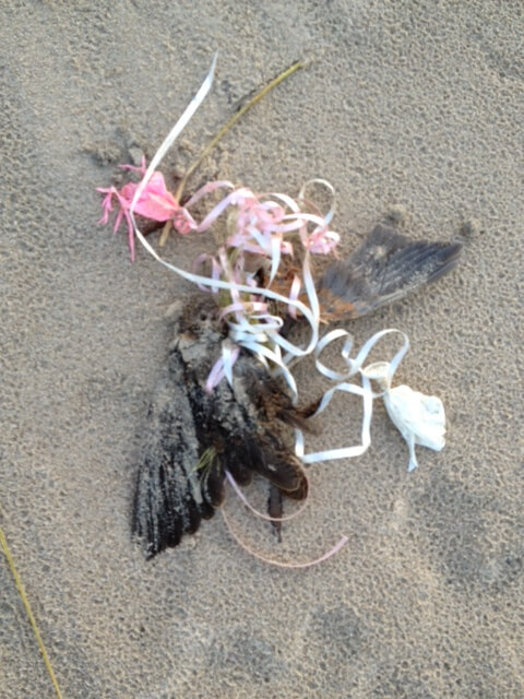 Rusty Blackbird found dead – entangled in balloon ribbon