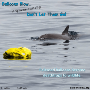 Dolphin swims by a mylar balloon offshore California.