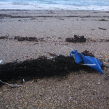 Piece of blue balloon and ribbon washed ashore in sargassum
