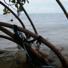 Ribbon tangled in red mangrove