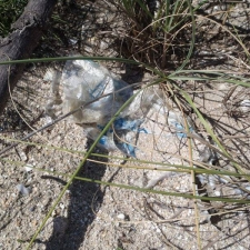 Balloon in protected sea oats