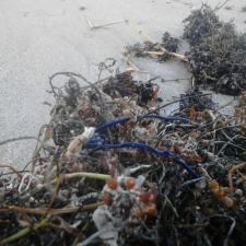 Latex balloon and plastic ribbon embedded in seaweed