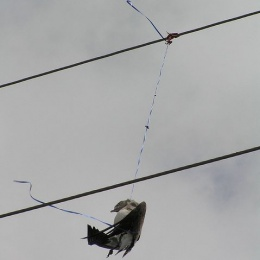 Laughing gull hangs dead after entangled in latex balloon ribbon