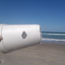 Young triggerfish bites a styrofoam cup