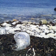 Mylar balloon washed in with the seaweed