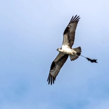 Osprey entangled in latex balloon and its ribbon