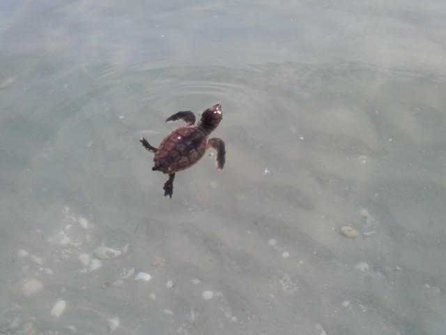 Baby Ocean Turtle