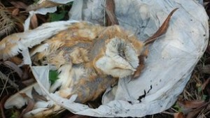owl killed by sky lantern