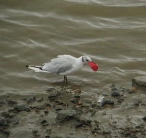 Gull eats balloon