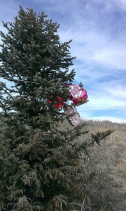 Mylar balloons caught in pine trees Castle Pines, Colorado