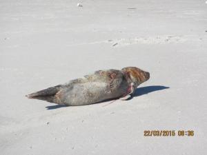 Seal Tangled in Balloon Ribbon