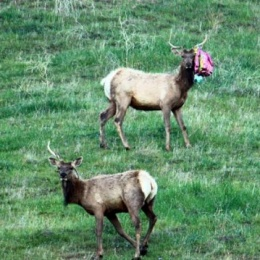 Elk with balloon