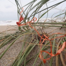 Bit of latex balloon and ribbon in sea oats