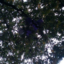 Bunch of latex balloons caught in tree