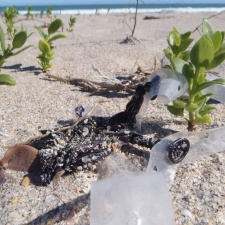 Plastic pollution in seagrapes