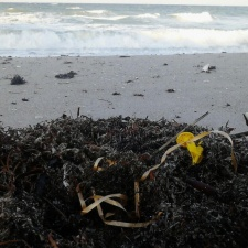 Sargassum with balloon ribbon and balloon pieces