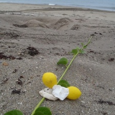 Yellow latex balloons next to a sea turtle nest