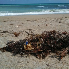 latex balloons with ribbon tangled in sargassum