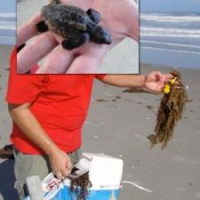 loggerhead sea turtle was tangled in latex balloon & ribbon