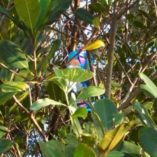 mylar balloon polluting the mangroves