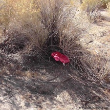 mylar balloon tucked under shrub