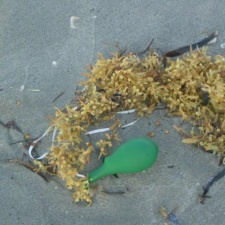 so-called biodegradable latex balloon with ribbon caught in seaweed