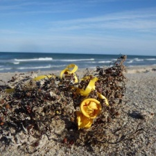 balloon bits attached to string in sargassum